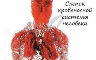 В каком предсердии заканчивается большой круг кровообращения